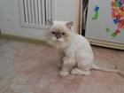 Увидеть фотографию Стрижка собак Стрижка кошек и собак на дому у клиента 40161320 в Ставрополе