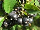 Скачать фотографию Разное Черноплодная рябина -арония, Свежая ягода 68291200 в Стерлитамаке