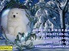 Свежее фото  Малыши самоедики 32466985 в Сургуте