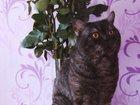 Просмотреть фотографию  Британский кот приглашает на вязку 32507623 в Сургуте