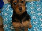 Фотография в Собаки и щенки Продажа собак, щенков Срочно отдам щенка в заботливые руки. Смесь в Сургуте 0