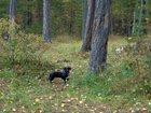 Фото в Собаки и щенки Продажа собак, щенков Потерялась черная собака- метис таксы с красным в Сургуте 10