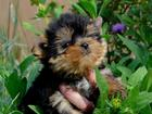 Изображение в Собаки и щенки Продажа собак, щенков Красивые высокопородные декоративные щенки в Сургуте 30000