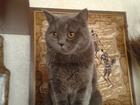 Фотография в Кошки и котята Вязка Красивый, молодой, энергичный британец, окрас в Сургуте 3000