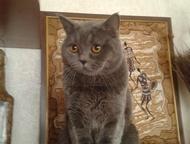 Британский кот ищет кошку для вязки Красивый, молодой, энергичный британец, окра