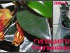 Фотография в Недвижимость Продажа квартир Продам комнатные цветы: Полисциас, Ктенанта, в Сызране 200