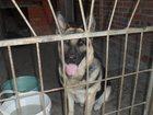 Фотография в Help! Потери Пропала собака породы немецкая овчарка в в Таганроге 0