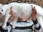 Увидеть фото  Красивый ангорский кот на вязку 33760329 в Таганроге
