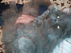 Фото в Кошки и котята Вязка Молодой кот ищет кошечку для вязки на своей в Котовске 0