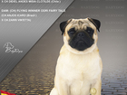 Увидеть фото Вязка собак Племенной кобель Мопс для вязок с Испано-Бразильской родословной 38481663 в Тамбове