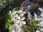 Изображение в Кошки и котята Вязка Ищу кота для вязки Шотландского прямоухого в Тихорецке 0