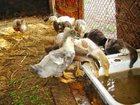 Скачать бесплатно foto Птички Утята Фаворит Голубой 33407020 в Тимашевске