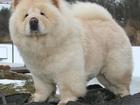 Изображение в Собаки и щенки Продажа собак, щенков Бегает собака! Похоже на смесь чау-чау , в Тюмени 0