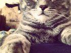 Изображение в   Кот для Вязки. Опытный. Породы скоттиш-страйт. в Тюмени 1000