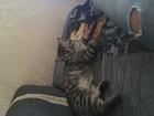 Изображение в   Американский короткошёрстный кот ищет ко в Тюмени 0