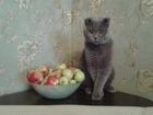 Изображение в Кошки и котята Вязка Молодой очень симпатичный вислоухий британец в Тюмени 0