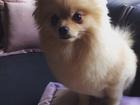 Изображение в Собаки и щенки Вязка собак Померанский карликовый шпиц девочка ищет в Тюмени 0
