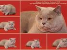 Фотография в   Британский к/ш кот, окрас лиловый, 4-х лет, в Тюмени 3000