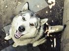 Фотография в Собаки и щенки Вязка собак Собака породистая но документов нет в Тюмени 0