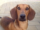 Фото в Потерянные и Найденные Потерянные Пропал щенок таксы кабель (возраст 1 год), в Тюмени 0