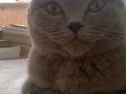 Изображение в Кошки и котята Вязка Красавица кошка, привита и чиста, в прямом в Тюмени 500