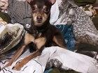 Просмотреть foto Вязка собак Ищем жениха для нашей тоечки) 38335301 в Тюмени