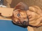 Фото в Собаки и щенки Вязка собак молодой симпатичный кабелёк ищет спутниц в Тюмени 0