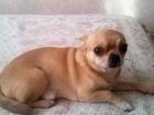 Изображение в Собаки и щенки Вязка собак ищу девочку для вязки мальчик красивый в Тюмени 0