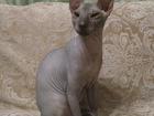 Изображение в Кошки и котята Вязка Молодой красивый котик 1 год ищет подруж в Тюмени 1000