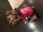 Скачать фотографию Вязка собак Кобель йорка для вязки 38709482 в Тюмени