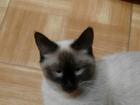 Скачать фотографию Вязка Кошка ищет кота, 39225082 в Тюмени