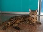 Просмотреть foto Вязка кошек Бенгальский кот приглашает невест для вязок 40307036 в Тюмени