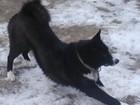 Свежее foto Вязка собак Карельская медвежья лайка 54388419 в Тюмени