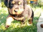 Продаётся щенок ротвейлера