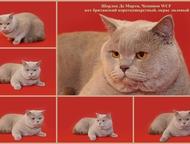 Вязка британский к/ш кот Британский к/ш кот, окрас лиловый, 4-х лет, с родословн
