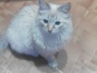 Фотография в Потерянные и Найденные Потерянные пропал кот, в 1 квартале, свердлова 37, откликается в Тольятти 0