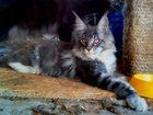 Фотография в Кошки и котята Продажа кошек и котят Котик самой крупной породы кошек, очень породистый, в Тольятти 10000