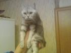 Скачать бесплатно фотографию  Кот на вязку британец чёрный мрамор на серебряном ищет такую же кошечка или вислоухою 38531191 в Тольятти
