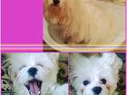 Просмотреть изображение Вязка собак Мальтезе мальчик для вязки в Тольятти 39924639 в Тольятти