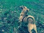 Увидеть foto Вязка собак Ищем молоденького кобеля для вязки 67756685 в Тольятти