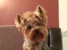 Фотография в Собаки и щенки Вязка собак Очаровательный йорк ищет девочку - томичку в Томске 3000