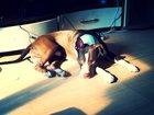 Фото в Собаки и щенки Вязка собак 3 годовалый, сильный, подвижный , активный в Томске 0