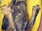 Фотография в Кошки и котята Продажа кошек и котят продам котенка сфинкса 3 мес . девочка . в Томске 2000