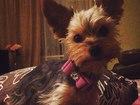 Изображение в Собаки и щенки Вязка собак Мини йоркшерский терьер Рембо ищет невесту! в Томске 8