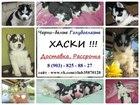 Фотография в Собаки и щенки Продажа собак, щенков Красивенных щеночков хаски продам! Окрасы в Томске 0