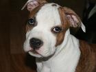 Изображение в Собаки и щенки Продажа собак, щенков И это всё о нём! - Красив, умён, перспективен, в Томске 0