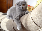 Фотография в Кошки и котята Продажа кошек и котят ПРОДАМ ШОТЛАНДСКОГО ВИСЛОУХОГО КОТЁНКА ЧИСТОКРОВНЫЙ в Томске 1500