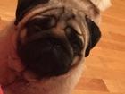 Фотография в Собаки и щенки Вязка собак Красивый породистый кобель мопс ищет подругу в Томске 1000