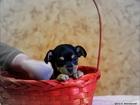 Изображение в Собаки и щенки Продажа собак, щенков Продаются щенки той-терьера, гладко и длинношерстные. в Томске 7000