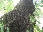 Уникальное фотографию  Пчелопакеты с бесплатной доставкой по России 38310191 в Омске